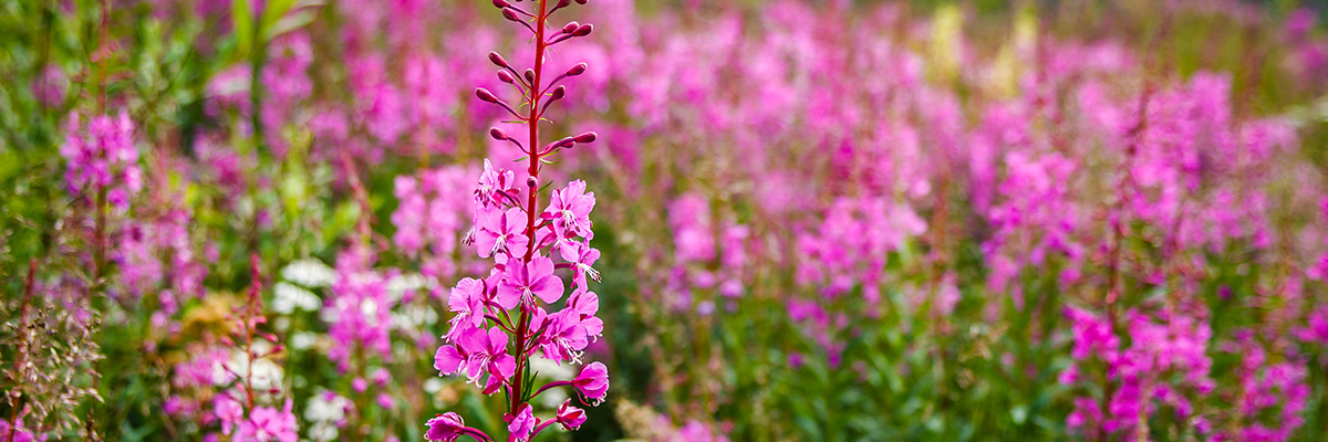 spring wildflowers in utah mountains